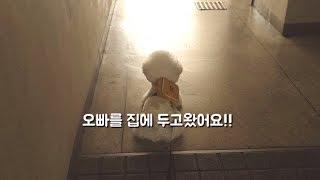 산책을 거부하는 강아지 (+ 보으리 )