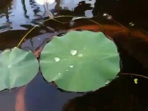 Water Repellent Lotus Leaves