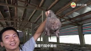 华农兄弟:竹鼠中暑有什么症状?如何预防和救治?看了这个视频你就知道了