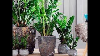 Долларовое дерево замиокулькас. Растение, приносящее удачу. Уход и размножение(Долларовое дерево замиокулькас. Растение, приносящее удачу. Уход и размножение http://youtu.be/_Stl3airua8 Подписывайт..., 2015-02-05T15:39:06.000Z)