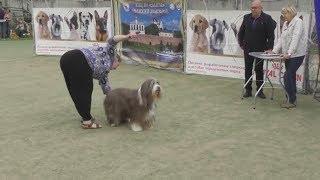 породы собак - Бородатый колли, интернациональная выставка собак в Великом Новгороде ранга CACIB