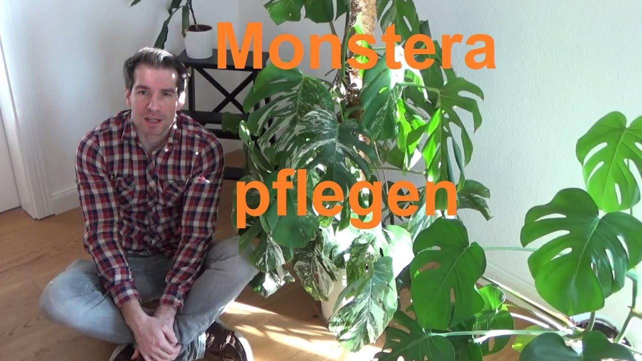 Etwas Neues genug Monstera deliciosa Pflege Monstera deliciosa Variegata pflegen &BC_58