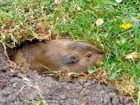 Giant Gopher Digging a Hole
