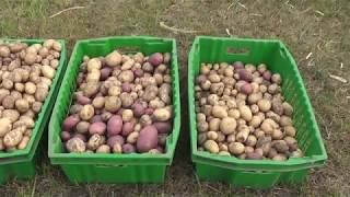 Пришла в деревню цивилизация/ Про картофель
