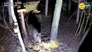 Dzik w karmisku dla dzikich zwierząt w lesie na Podkarpaciu