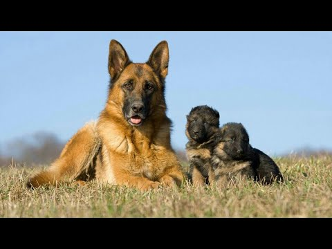 My german shepherd dog ran away (very emotional)| animated story