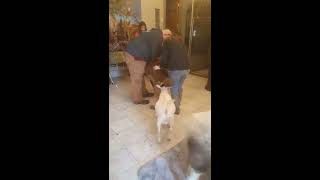 Wolf dog in Michigan couple's proposal