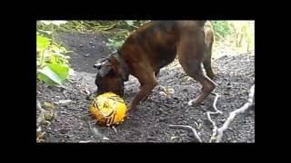 Staffordshire Bull Terrier (esme). Boxer Dog (henry). - Part 1.