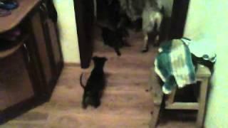 Майоркские щенки(мальчик и девочка)
