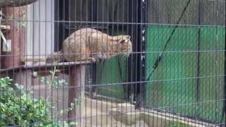 ツシマヤマネコ スポットガイド 福岡市動物園 ツシマヤマネコ 検索動画 28