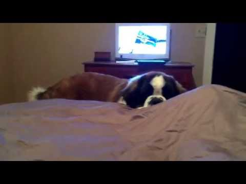My St. Bernard getting into bed