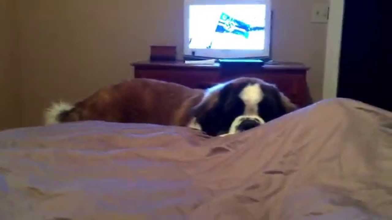 St Bernard Getting Into Bed