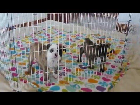 Big Papi Bulldogs - Cachorros Disponibles 2 Marzo 2016