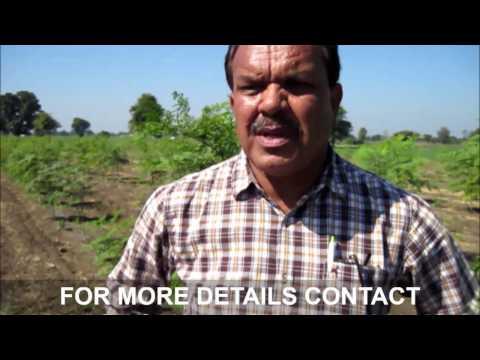 Visit to Drumstick or Moringa Farm in Harda,Madhya Pradesh.