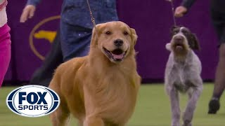 'Daniel' the golden retriever wins Sporting Group at 2020 Westminster Dog Show | FOX SPORTS
