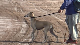 Arabic dog | Arabian saluki dog breed in Punjab | Mudhol hound