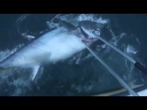 Cau ca ngu dai duong 6 ( 200 kilo) Bluefin Tuna
