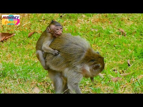 Never see Merri serious weaning & fighting like this before|Sherri tiny cry loudly|Monkey Daily 1189