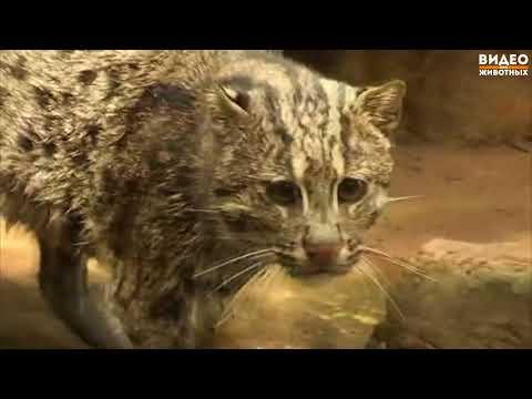Виверровый кот (Кошка рыболов)