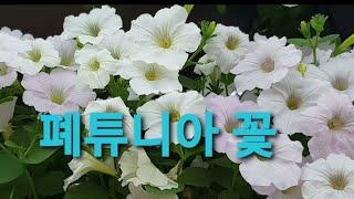 조경 꽃으로 최고예요 오랫동안 볼수있는 폐튜니아 꽃