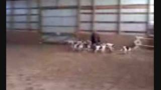 Training Fox Hounds Pepperill Ma Onbh