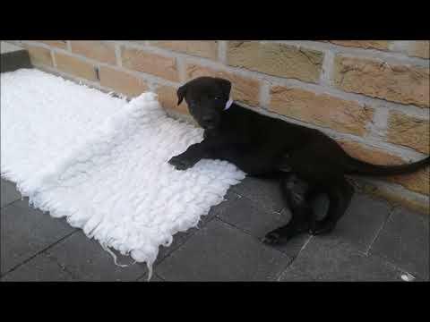 Greyhound pups growing up