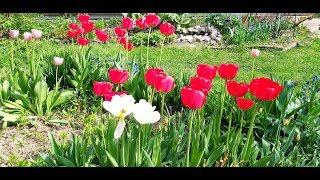 Цветы в начале мая/ Мешки для петуний/ Розы из коробок/Дихондра и неизвестные цветы