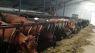jałowki  byki bydlo mięsne hodowla