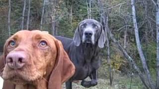 Eyes Of The Playful Dog ~ Vizsla And Weimaraner