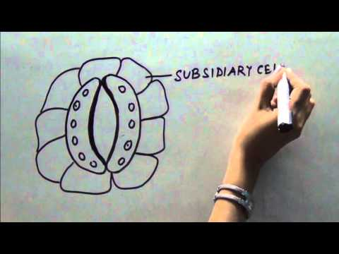 HOW TO DRAW DIAGRAM OF OPEN STOMATA  YouTube