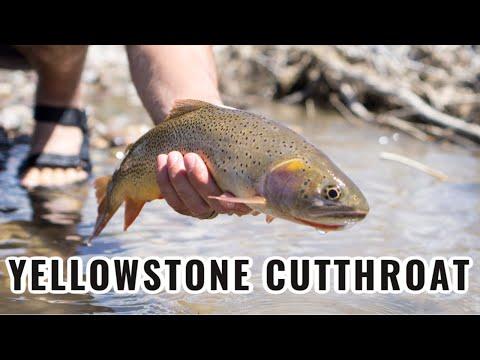 Tenkara Fishing for Yellowstone Cutthroat