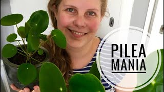 🌱🌿☘️  De Pilea peperomioides (Pannenkoekenplant) stekken 🌱🌿☘️