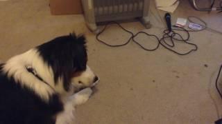 Dog VS Amp