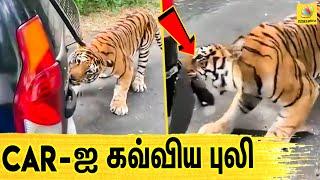 Zoo-க்கு சென்ற சுற்றுலாபயணிகள்.. வழிமறைத்த புலி | Viral Video | Latest News