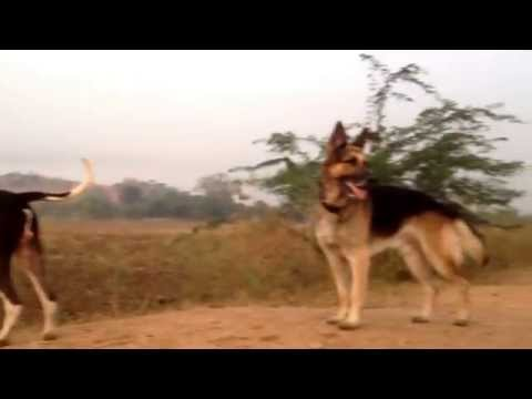 Bully kutta (indian mastiff)and german shephard dog