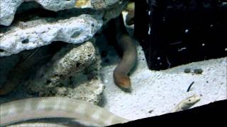 Sea Snakes feeding at Reef HQ Aquarium Thumbnail