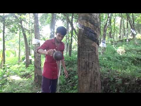Mosquito eradication in Rubber Plantations
