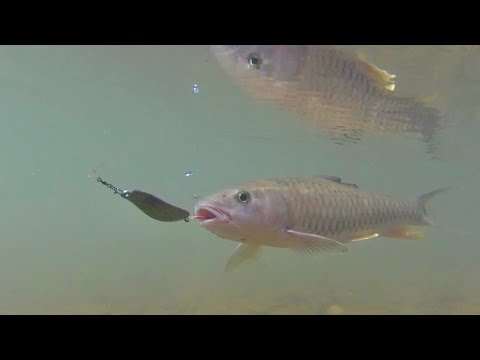 Câu Cá Chày Đất Vàng Mùa Thu 2019