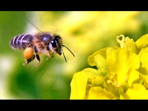 Bee collecting flower pollen - YouTube