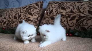 котята ПЕРСИДСКОЙ ШИНШИЛЛЫ