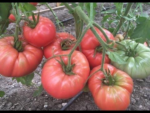 Урожайные сорта томатов для теплиц. Сезон 2018 год. Часть первая