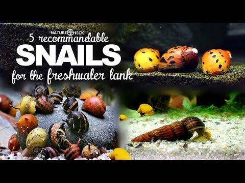 Most Popular Freshwater Snails