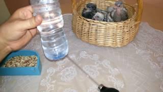 طريقة اطعام فروخ الحمام Hand Feeding Baby Pigeons