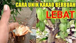 Download Lagu CARA CEPAT HANYA SATU BULAN KAKAO BERBUAH LEBAT mp3