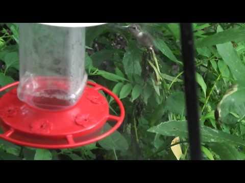 Hummingbird hovering  (volyme warning - volymivaroitus)