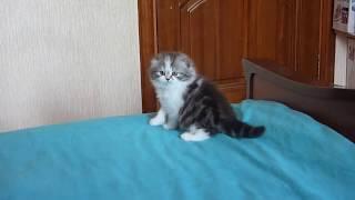 Продажа шотландских котят. Я ухожу... Не слышешь? Уже ушел...