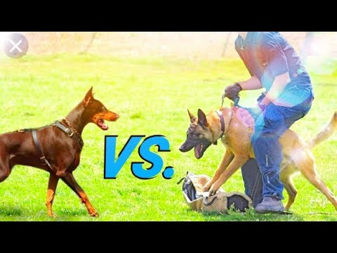 German shepherd vs Doberman/ Dog Comparison by Dog tubed