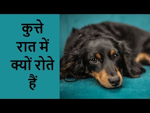 कुत्ते रात में क्यों रोते हैं, जानिए धार्मिक और वैज्ञानिक कारण !