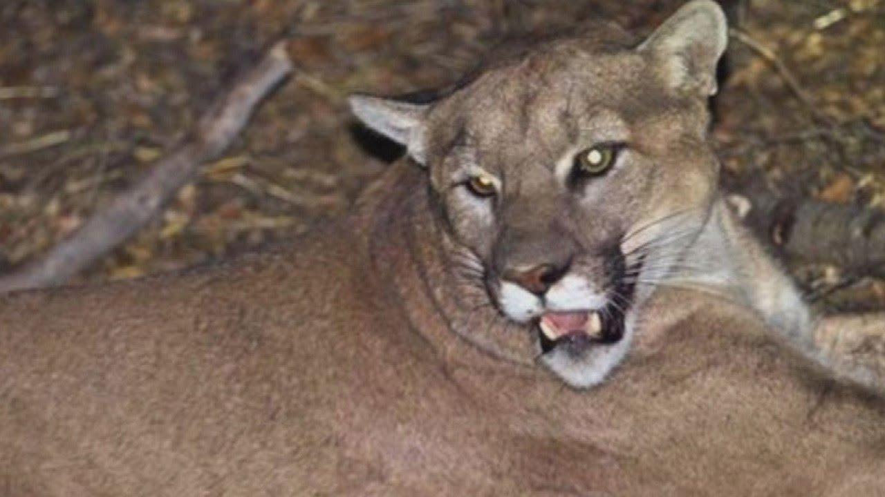 2c5e55e7a4732 Rancher Wants To Shoot The Mountain Lion Who Killed Her 10 Alpacas - YouTube