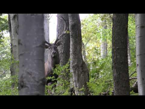 Jelen v říji - video Čergov 9-2020
